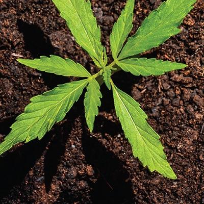 Great Northern Cannabis – Alaska's Finest Cannabis
